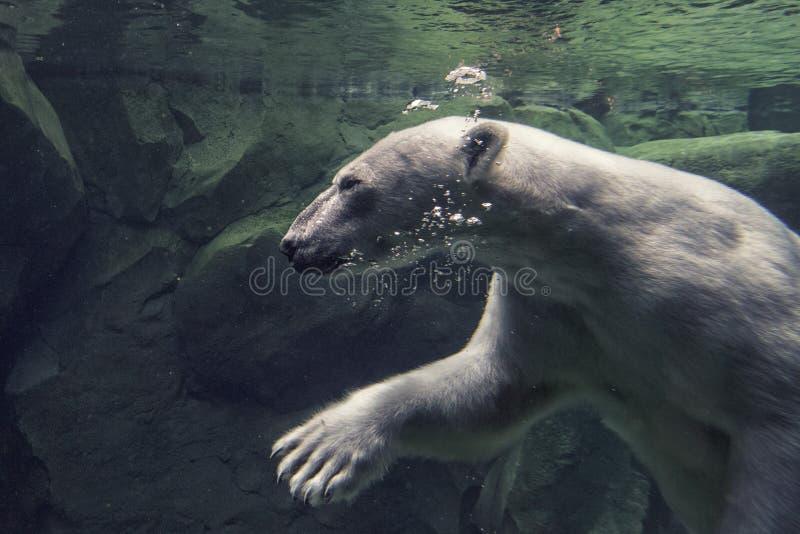 白熊水下在动物园 库存图片