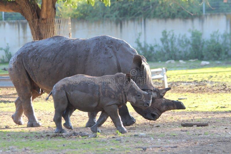 白犀牛母牛和小牛 图库摄影
