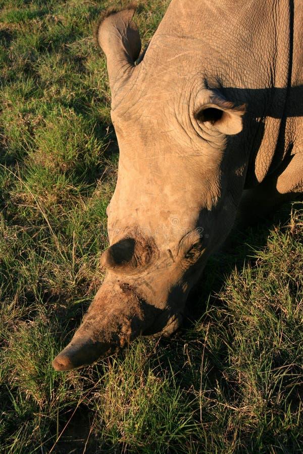 白犀牛画象从上面与绿草 免版税库存图片