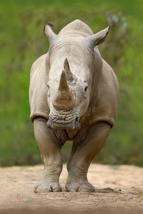 白犀牛,白犀属simum,与大垫铁,在自然栖所,坦桑尼亚,非洲 免版税图库摄影