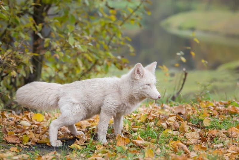 白狐在秋天森林里 免版税库存图片