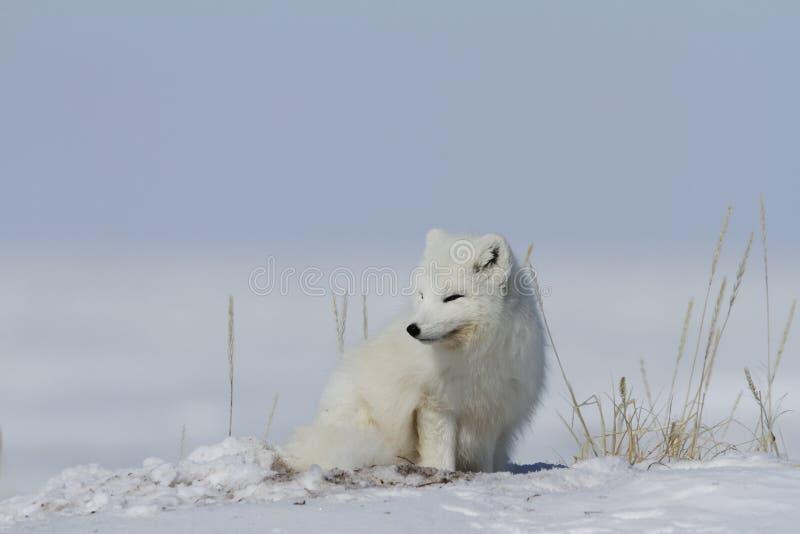 白狐醒从休息和凝视入距离的狐狸雷鸟属,与在地面上的雪,在亚怀亚特附近 库存照片