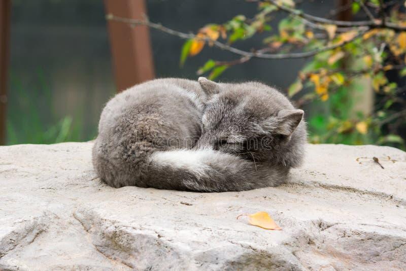 白狐(;狐狸lagopus);睡觉在岩石 图库摄影