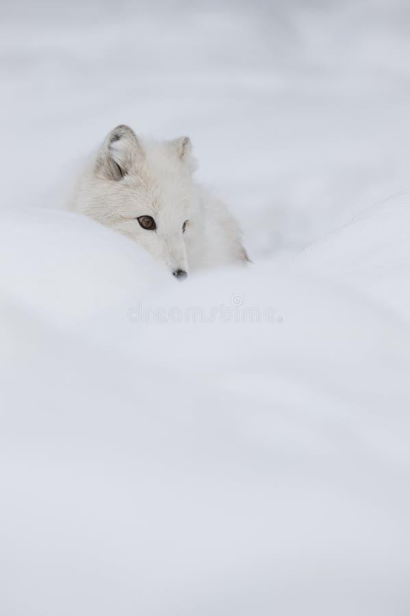 白狐 免版税图库摄影