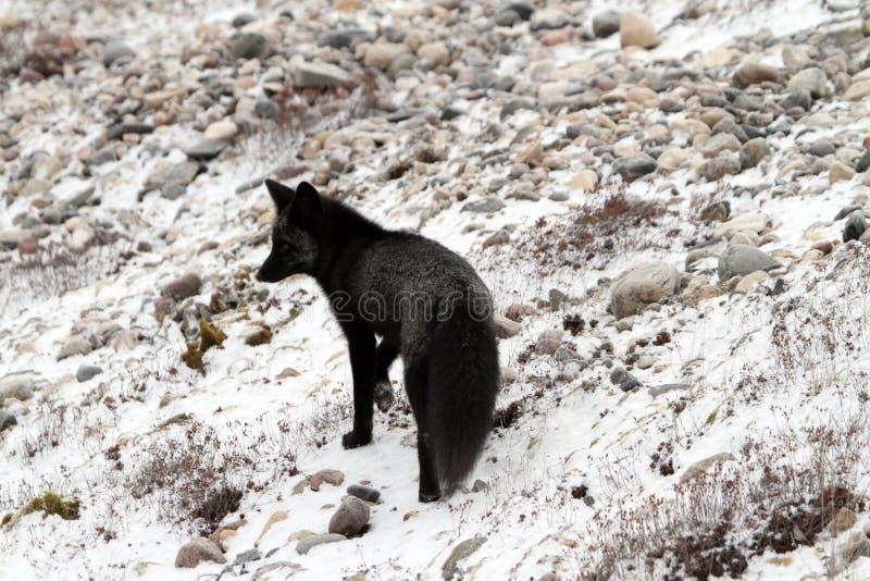 黑白狐 免版税图库摄影
