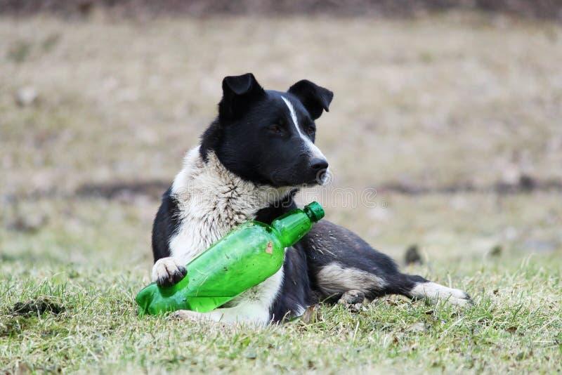 黑白狗在草说谎并且设法打开塑料绿色瓶用柠檬水 免版税库存图片