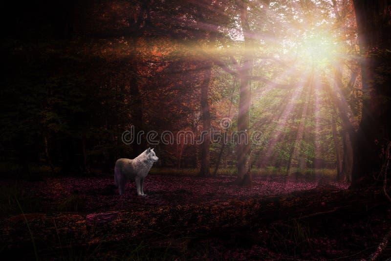 白狼在一个紫色森林里 免版税库存照片