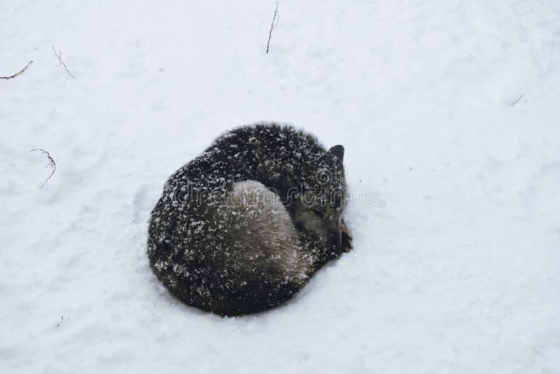 白狼在它的在雪的笼子睡觉在Asahiyama动物园里 库存图片