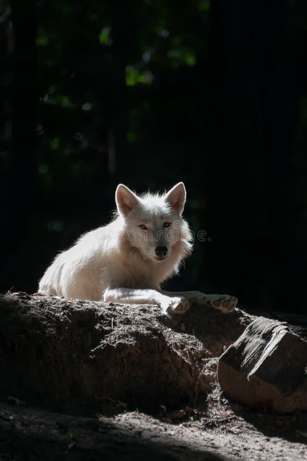 白狼在黑暗的森林清洁说谎 自然和童话当中概念 免版税库存照片