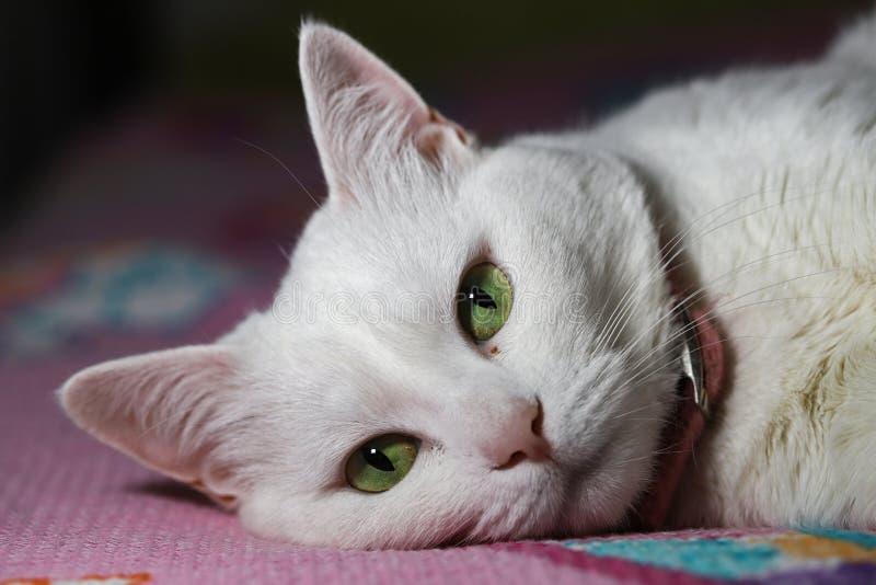 白猫鼻 免版税库存图片