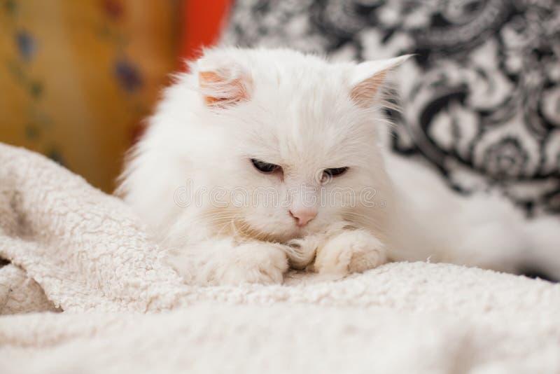 白猫 免版税图库摄影