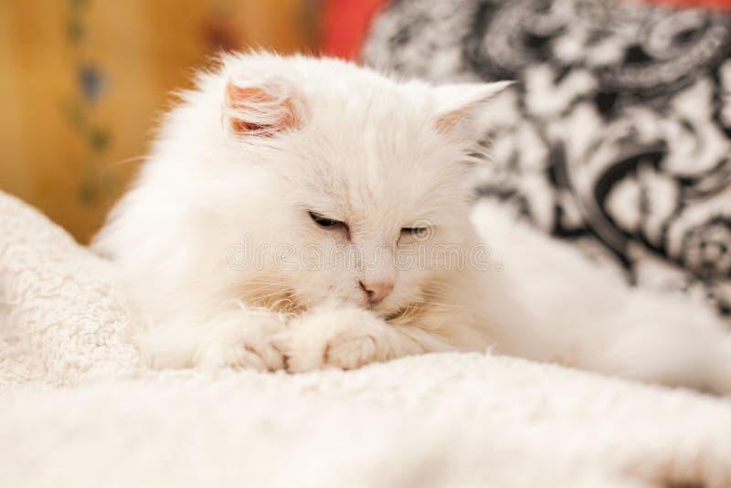 白猫 免版税库存照片