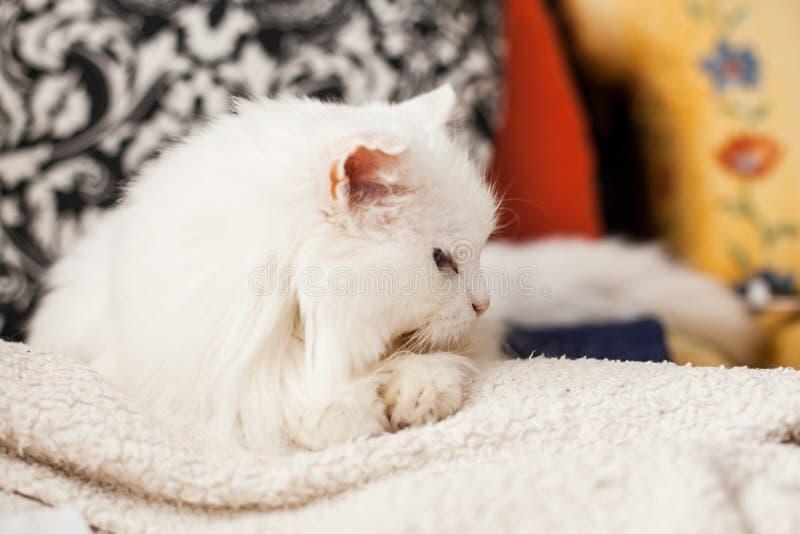 白猫 免版税库存图片