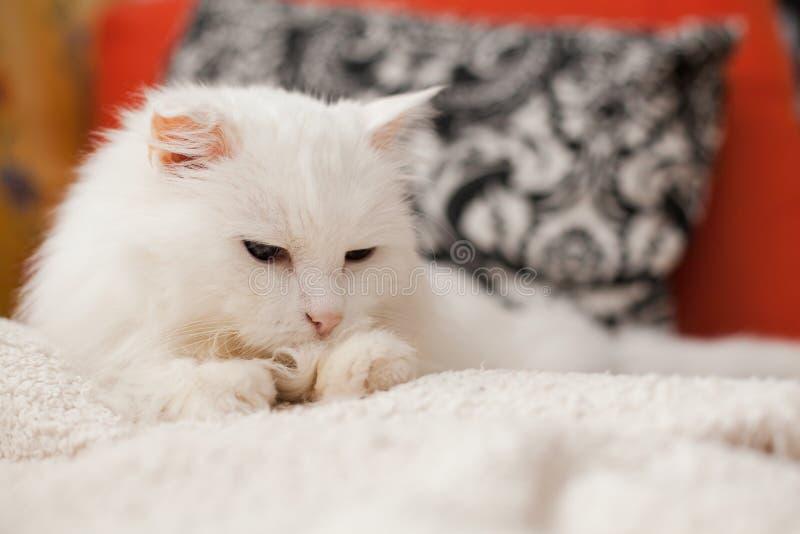 白猫 库存图片