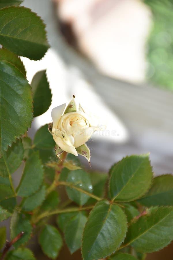 白玫瑰和叶子 库存照片