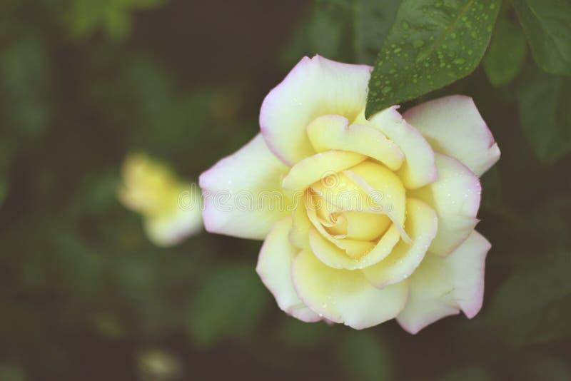 白玫瑰在庭院里 免版税库存图片