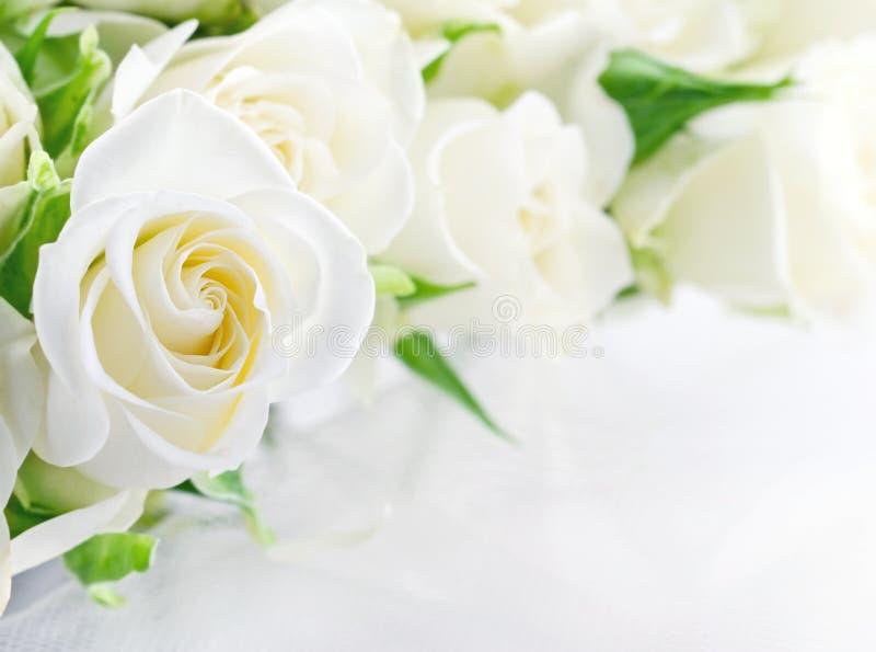 白玫瑰特写镜头  免版税库存图片