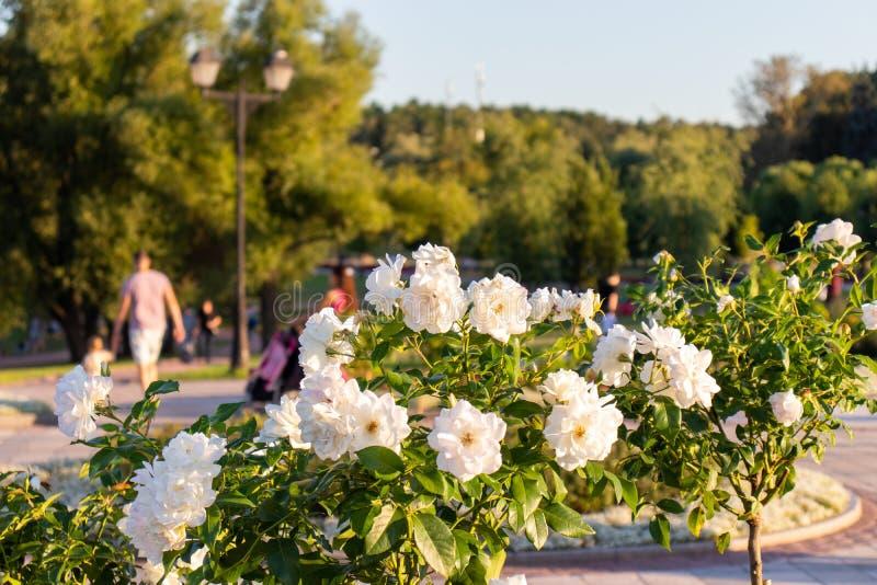 白玫瑰的布什在树背景的在一个公园 与绿色叶子的美丽的白花特写镜头 库存照片