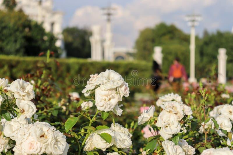 白玫瑰的布什在灯笼背景的  与绿色叶子的美丽的玫瑰特写镜头 库存图片