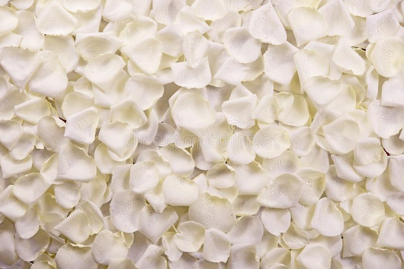 白玫瑰花瓣 库存图片
