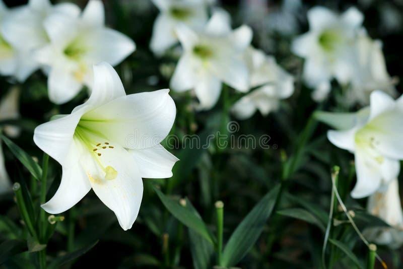 白百合在庭院背景中 对纯净的爱或爱的表示法在第一视域 免版税库存图片