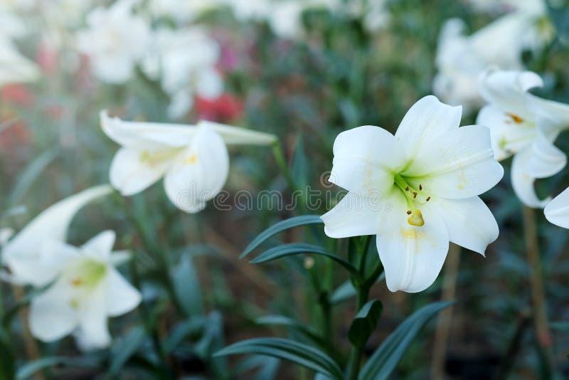 白百合在庭院背景中 对纯净的爱或爱的表示法在第一视域 库存照片