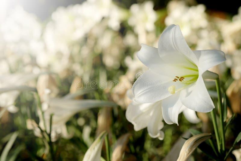 白百合在庭院背景中 对纯净的爱或爱的表示法在第一视域 图库摄影