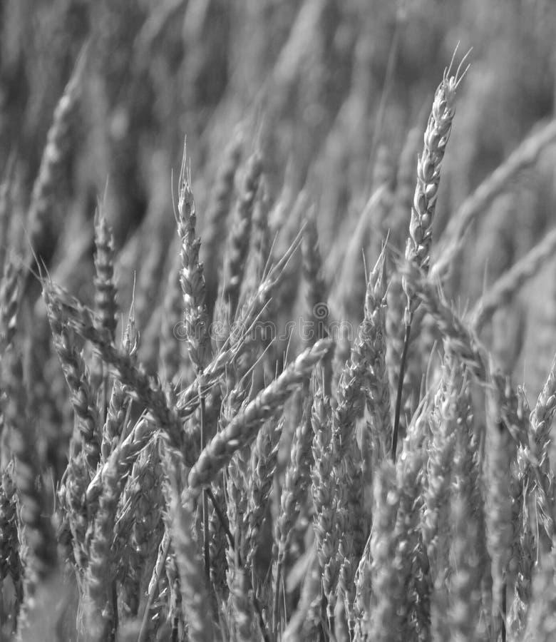 黑白的麦子 免版税库存图片