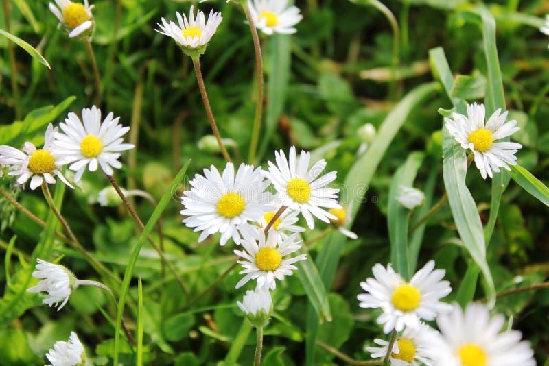 白的黄色小的花 库存图片