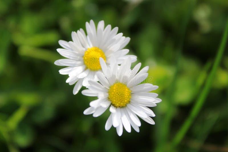 白的黄色小的花 库存照片