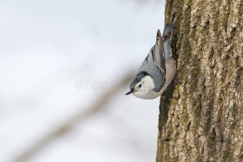 白的breasted五子雀鸟垂直在树的树干栖息 库存照片