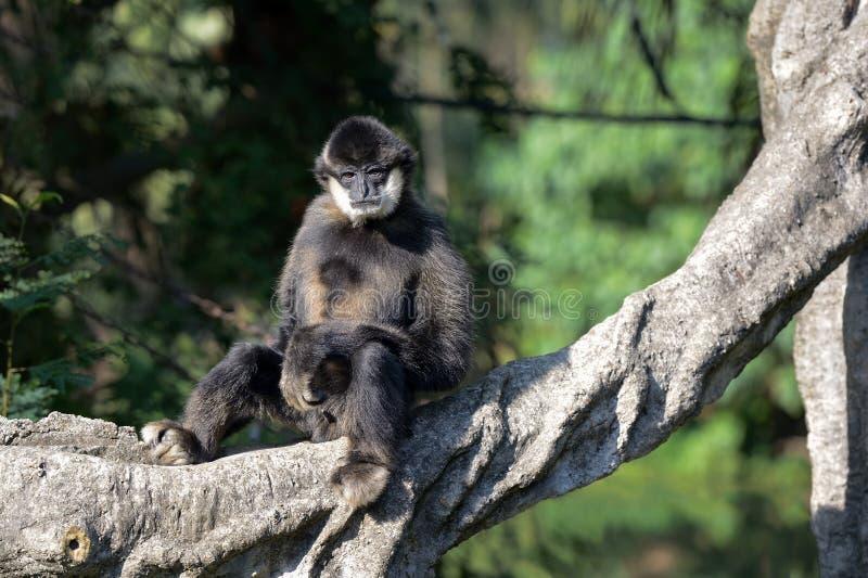 白的cheeked长臂猿坐树 图库摄影