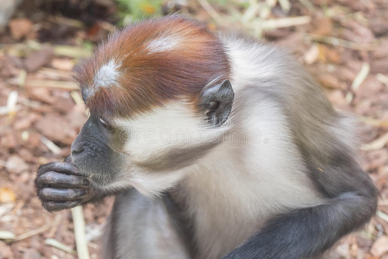 白眉猴他在地板上发现的吃事 图库摄影