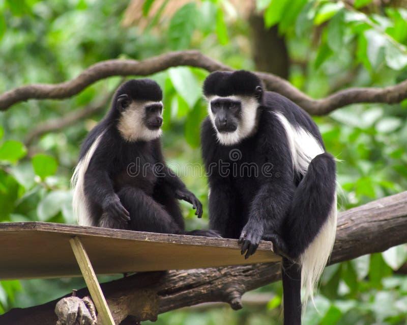 黑白短尾猴 库存图片