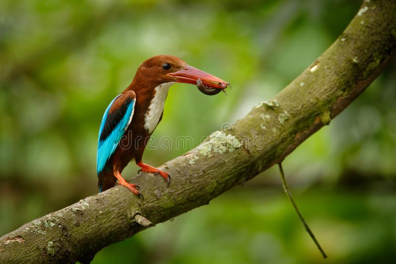 白红喉刺莺的在分支的翠鸟太平smyrnensis在有牺牲者的新加坡-蜥蜴 库存图片