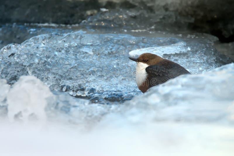 白红喉刺莺的浸染工- Cinclus cinclus 库存图片