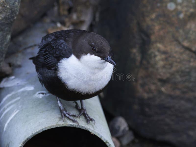白红喉刺莺的浸染工Cinclus cinclus 图库摄影