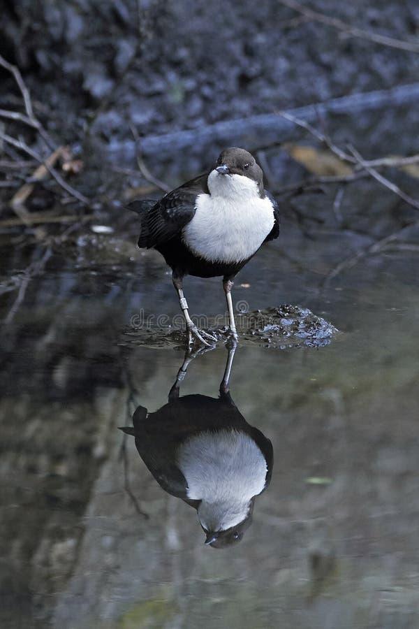 白红喉刺莺的浸染工Cinclus cinclus 免版税库存照片