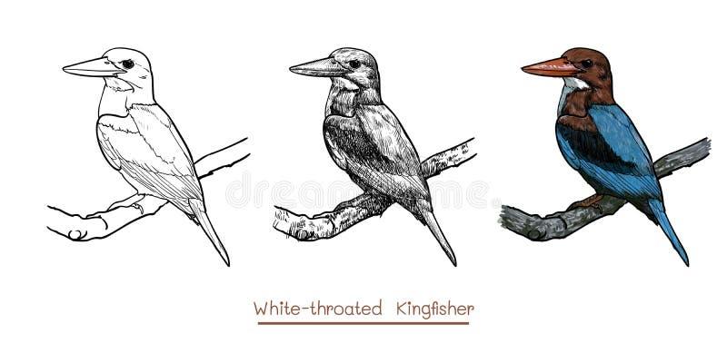 白红喉刺莺的翠鸟鸟举行图画枝杈的 库存例证