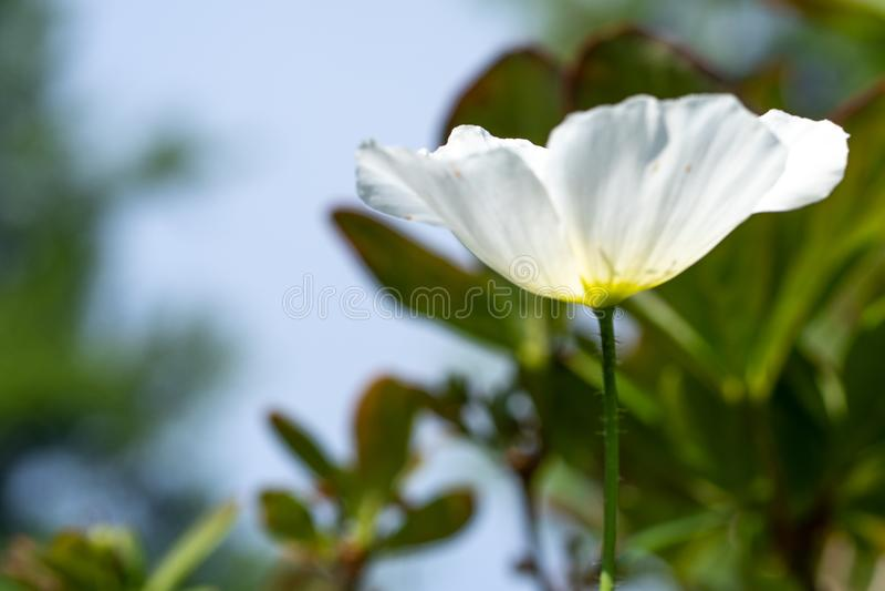 白罂粟在庭院里,软的焦点照片  免版税库存图片