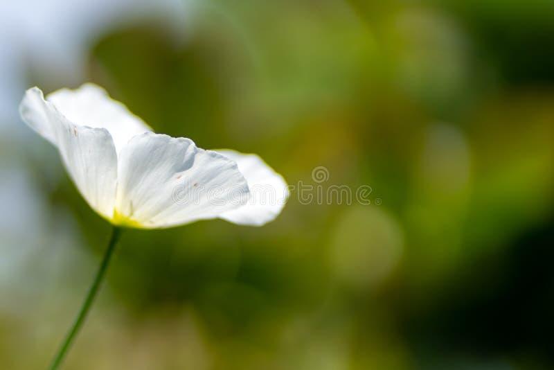 白罂粟在软的焦点和被弄脏的背景的庭院里 免版税图库摄影