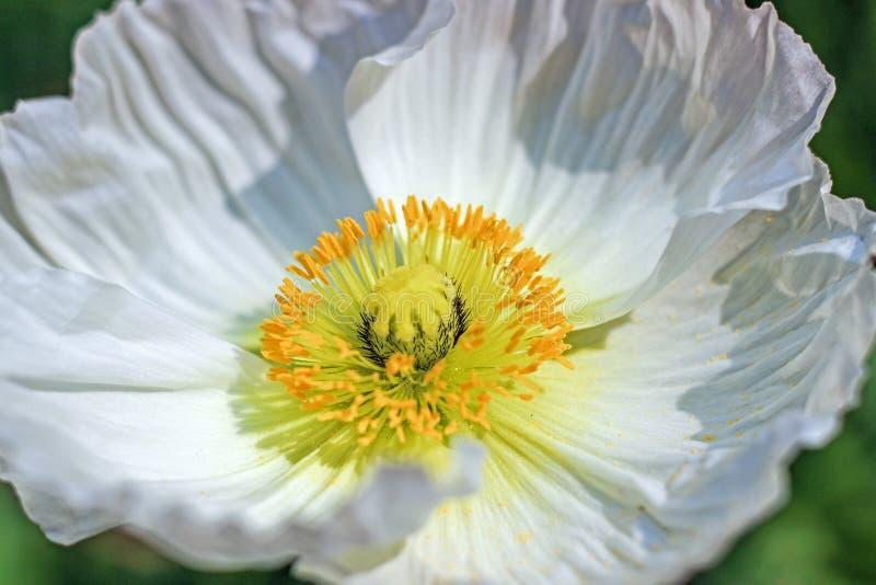 白罂粟花的黄色雄芯花蕊 免版税库存照片