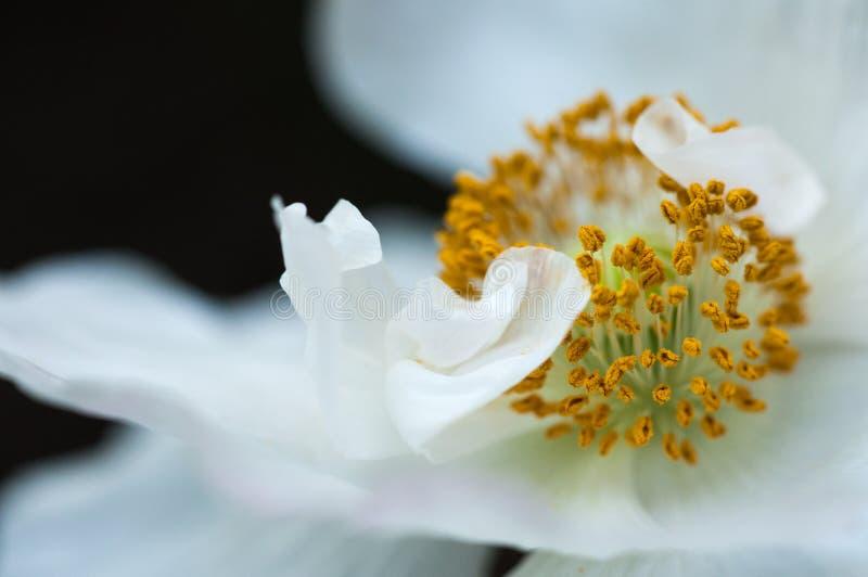 白罂粟 库存图片