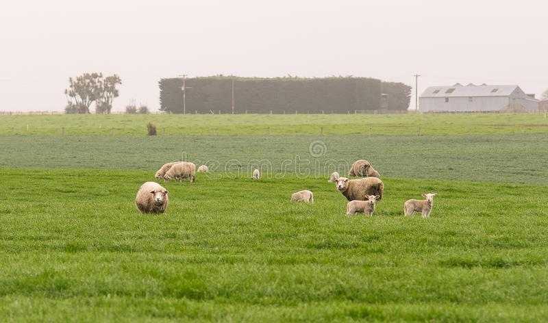 白羊家庭在绿色领域风景站立,新 免版税库存照片
