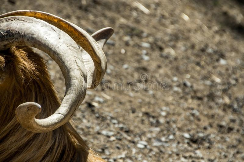 白羊星座的头和垫铁 免版税库存图片