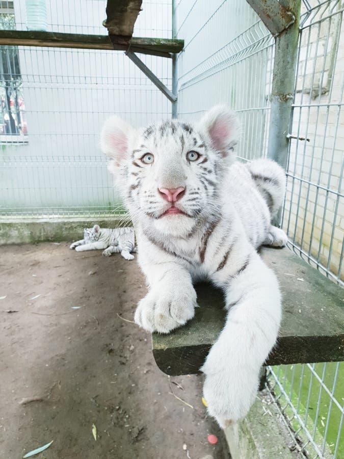 白老虎婴孩 免版税库存照片
