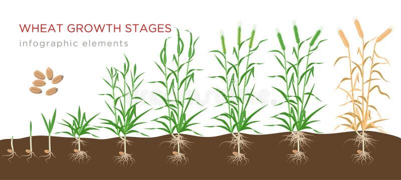 白背景中小麦从种子到成熟植株的生长阶段 小麦生长载体 皇族释放例证