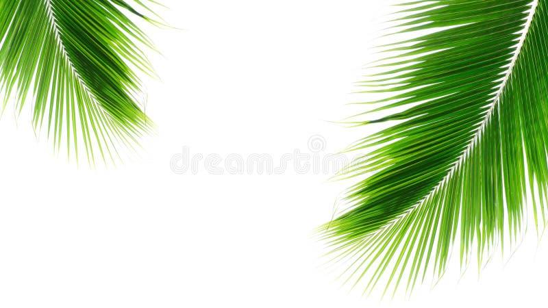 白背景双胞棕榈叶 库存图片