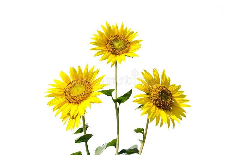 白背景田间鲜花向日葵鲜花束 免版税库存照片