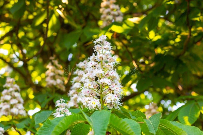 白色七叶树七叶树果实树,在分支的七页树属hippocastanum开花的花有绿色叶子背景 免版税库存照片
